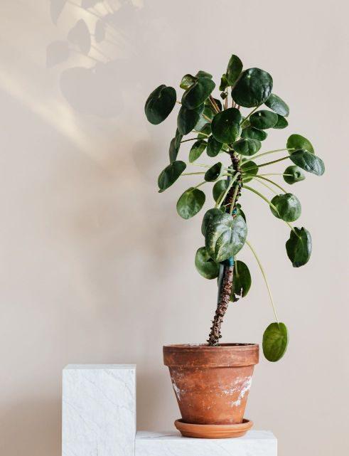 Der schönste große Olivenbaum